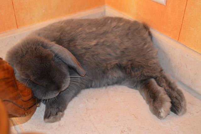 Hermine, lapine bélier, née en 2012 - Page 2 Dsc_0720
