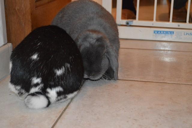 Hermine, lapine bélier, née en 2012 - Page 3 Dsc_0917