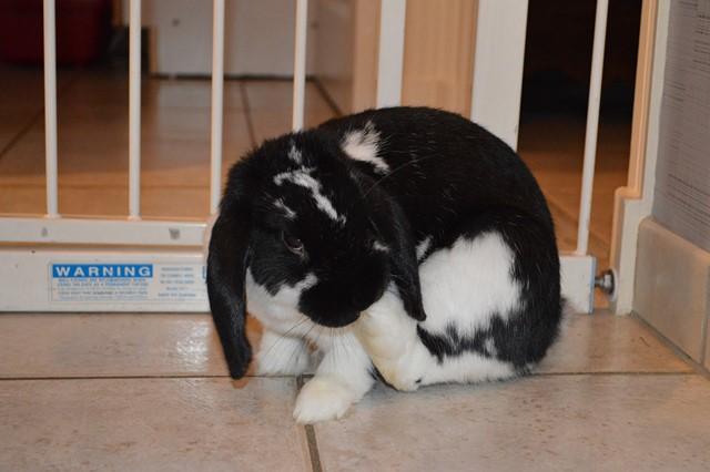 Hermine, lapine bélier, née en 2012 - Page 3 Dsc_0918