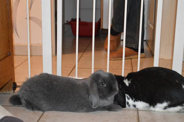 Hermine, lapine bélier, née en 2012 - Page 3 Dsc_0920