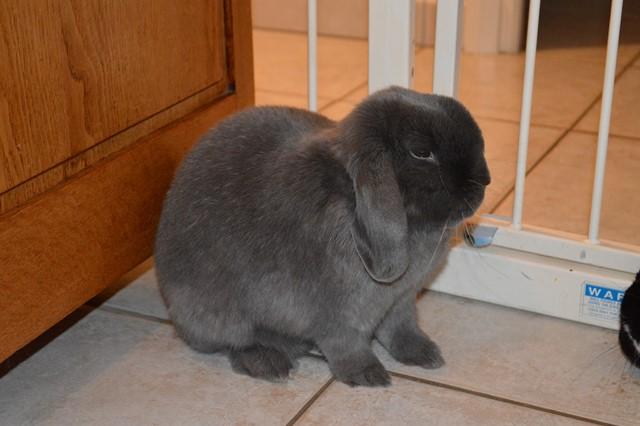 Hermine, lapine bélier, née en 2012 - Page 3 Dsc_0921