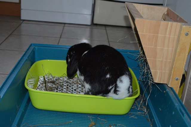 Hermine, lapine bélier, née en 2012 - Page 3 Dsc_0922