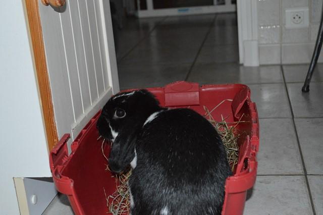 Hermine, lapine bélier, née en 2012 - Page 3 Dsc_0923