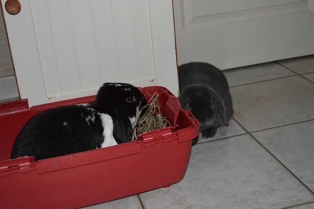 Hermine, lapine bélier, née en 2012 - Page 3 Dsc_0924