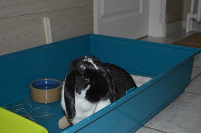 Hermine, lapine bélier, née en 2012 - Page 3 Dsc_0925
