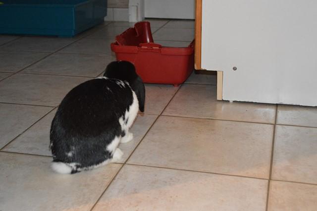 Hermine, lapine bélier, née en 2012 - Page 3 Dsc_0927