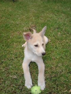 is it a husky ?? plz help 2013-116