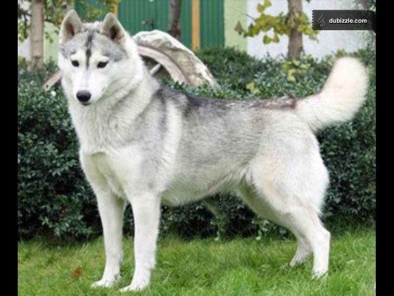 is it a husky ?? plz help Main_211
