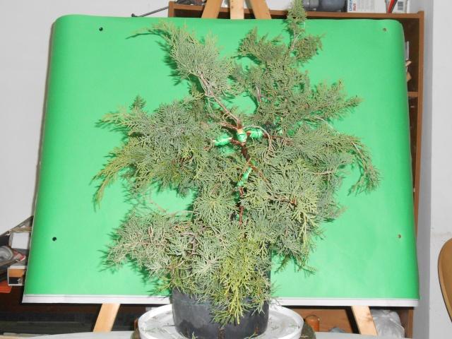 Juniperus horizzontalis Junipe10