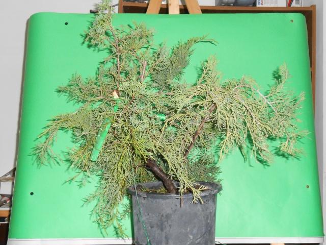 Juniperus horizzontalis Junipe11