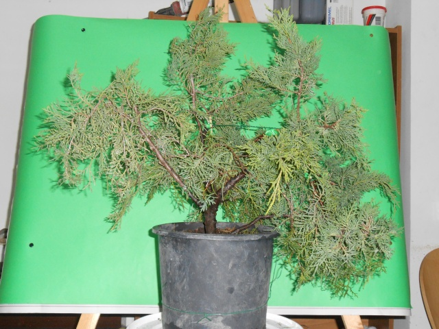 Juniperus horizzontalis Junipe13