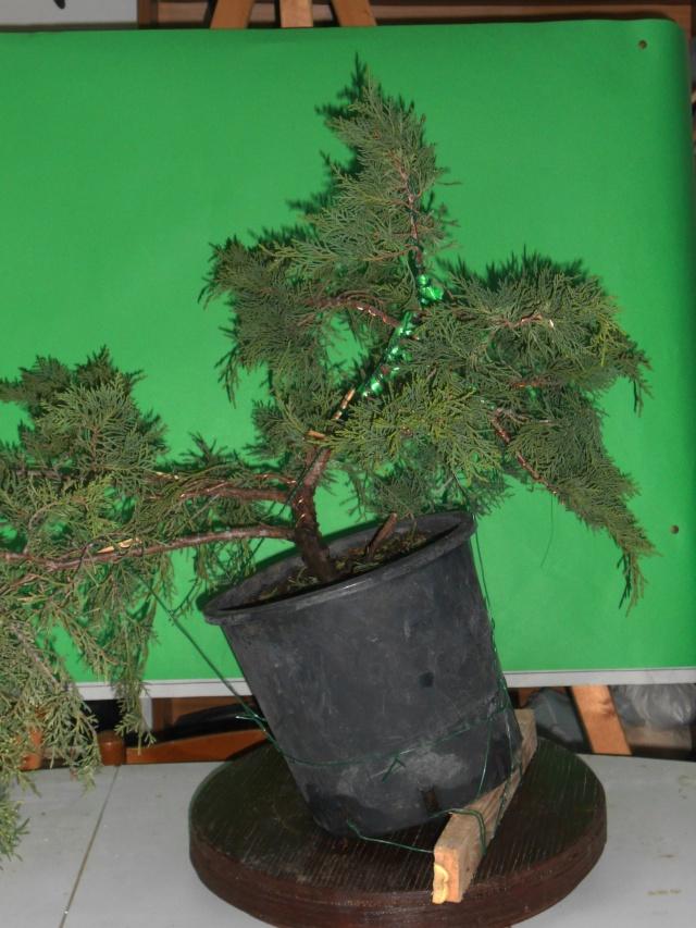 Juniperus horizzontalis Junipe14