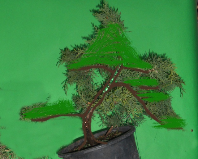 Juniperus horizzontalis Junipe15
