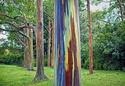 Eucaliptus deglupta Eucaly10