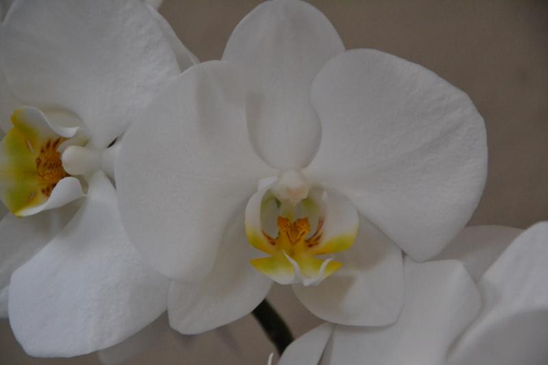 Phalaenopsis-Art gesucht Dsc_0011