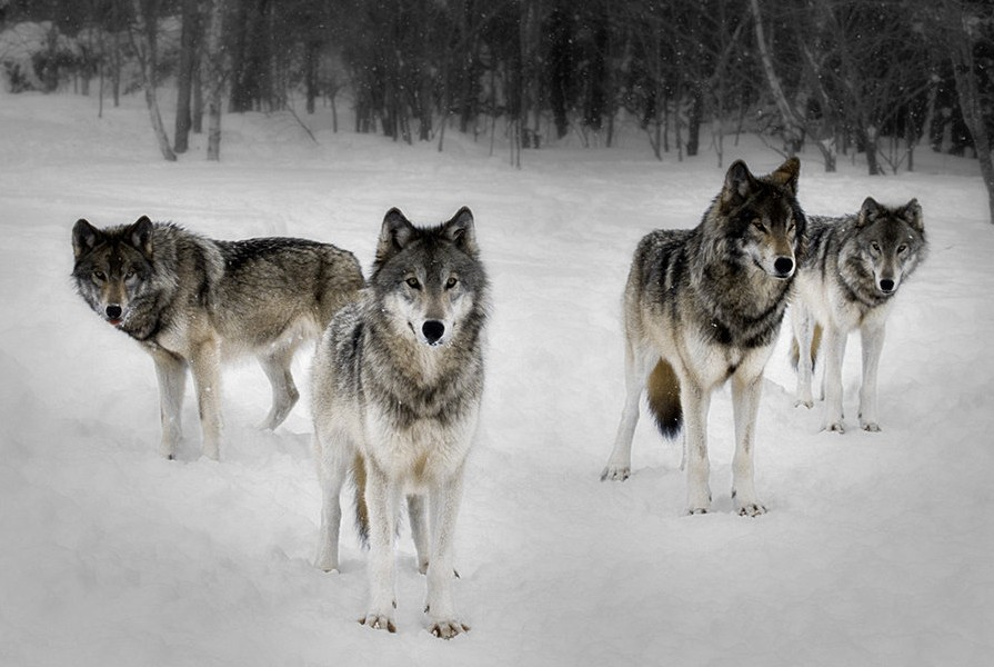 Arctic Wolf Pact