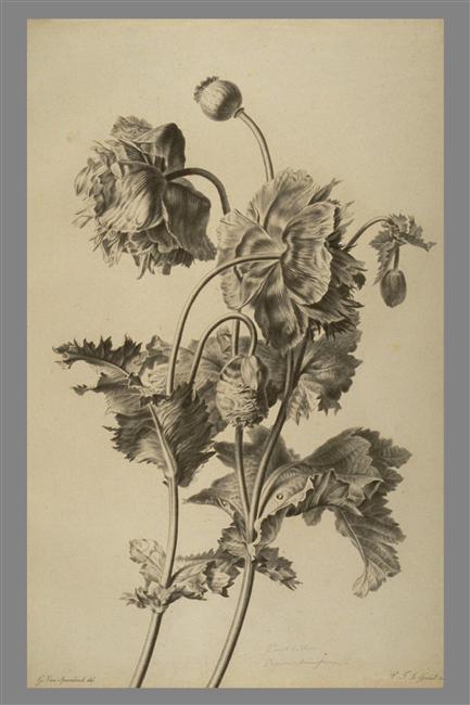 La peinture des fleurs : Sophie de Fuligny-Damas, marquise de Grollier 09-56510