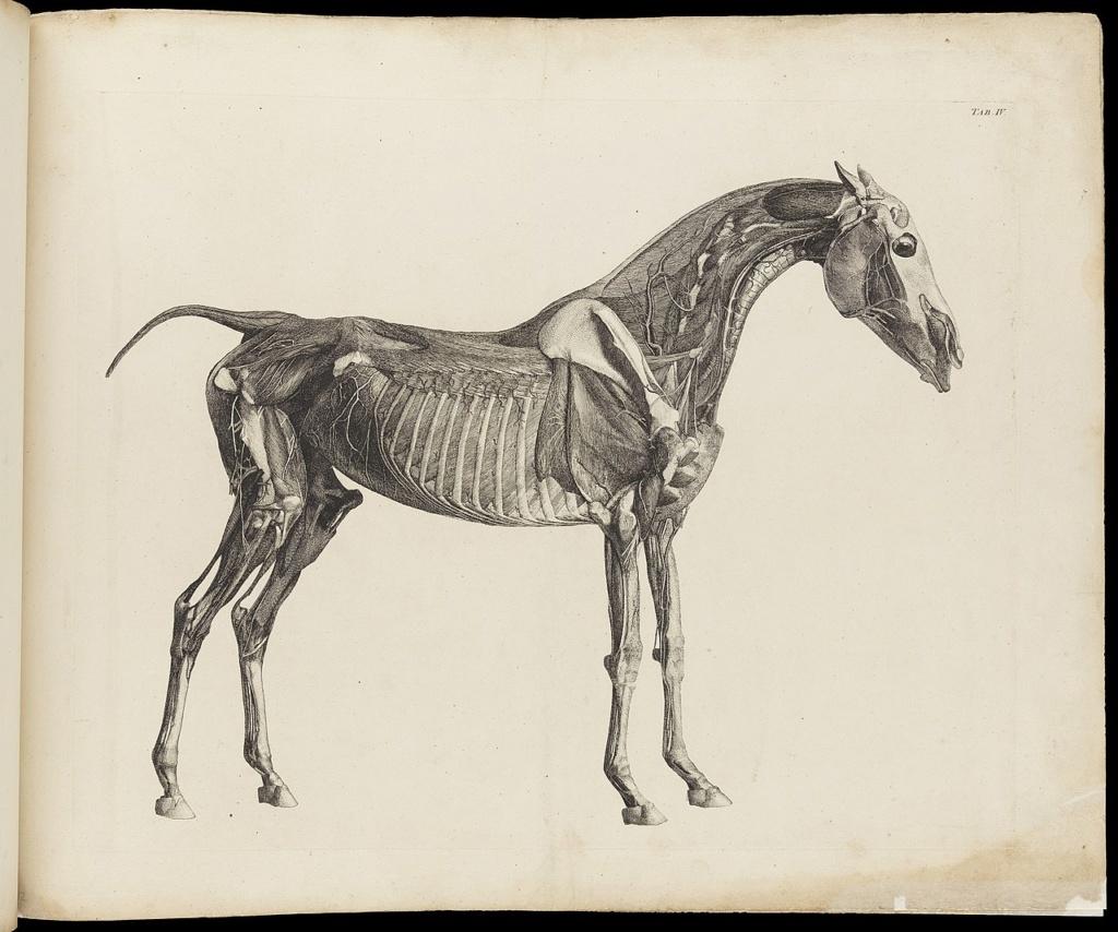 George Stubbs : artiste peintre et anatomiste.  1280px29
