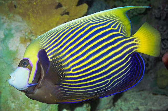 Des poissons tropicaux découverts en 1719 6910