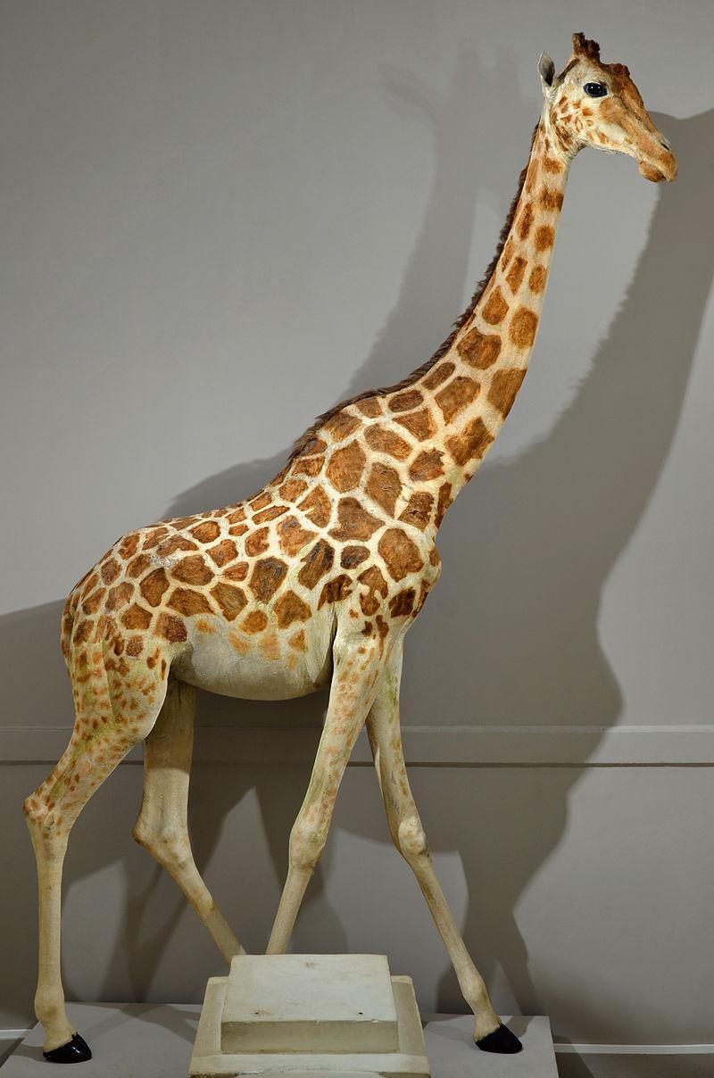 La girafe de Charles X, dite Zarafa 800px-81