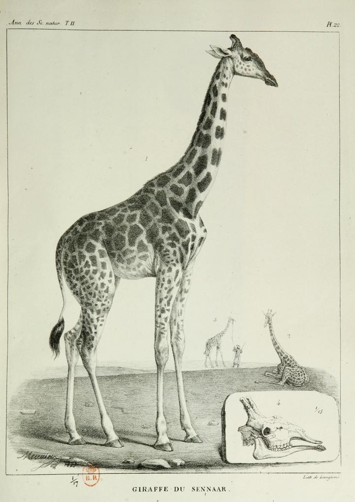 ZARAFA - La girafe de Charles X, dite Zarafa 800px-82