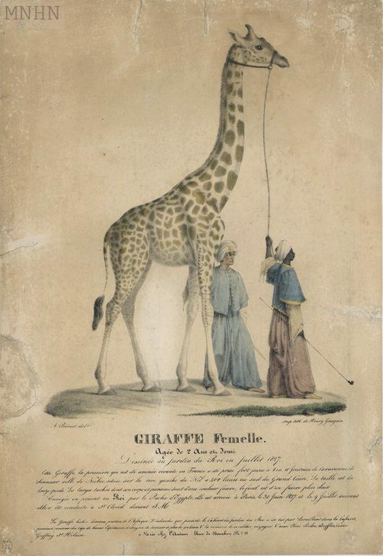 La girafe de Charles X, dite Zarafa Captu466