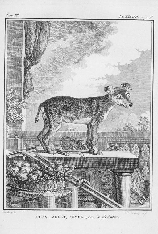 Des noms de races de chiens au XVIIIe siècle Chien-10