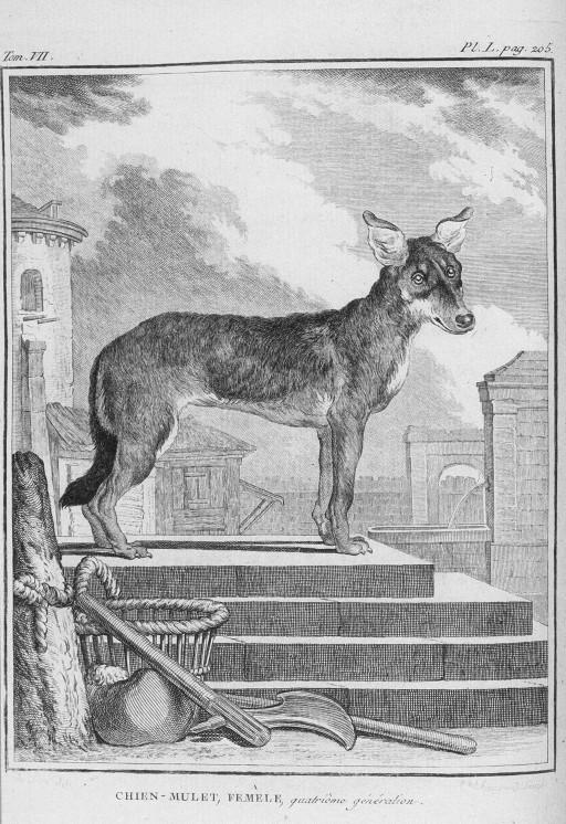 Des noms de races de chiens au XVIIIe siècle Chien-11