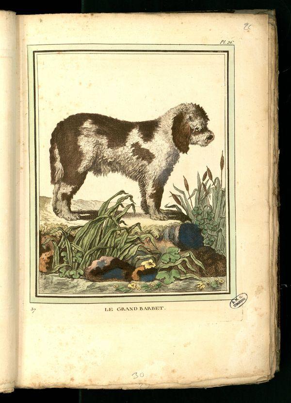 Des noms de races de chiens au XVIIIe siècle Chien-18