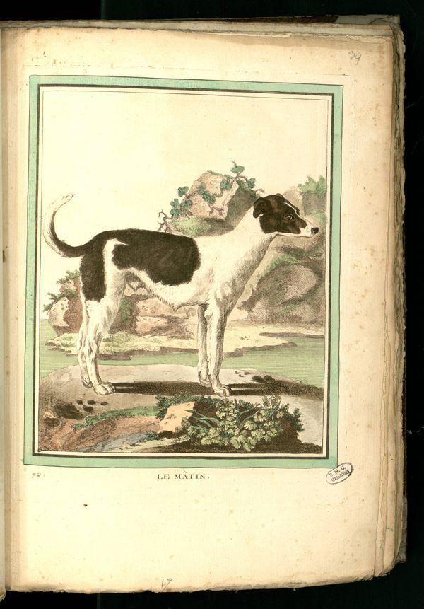 Des noms de races de chiens au XVIIIe siècle Chien-22