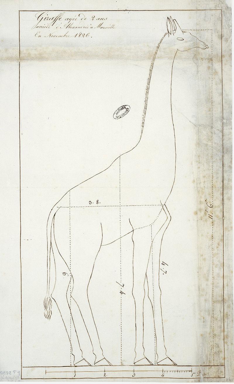 ZARAFA - La girafe de Charles X, dite Zarafa Dessin12