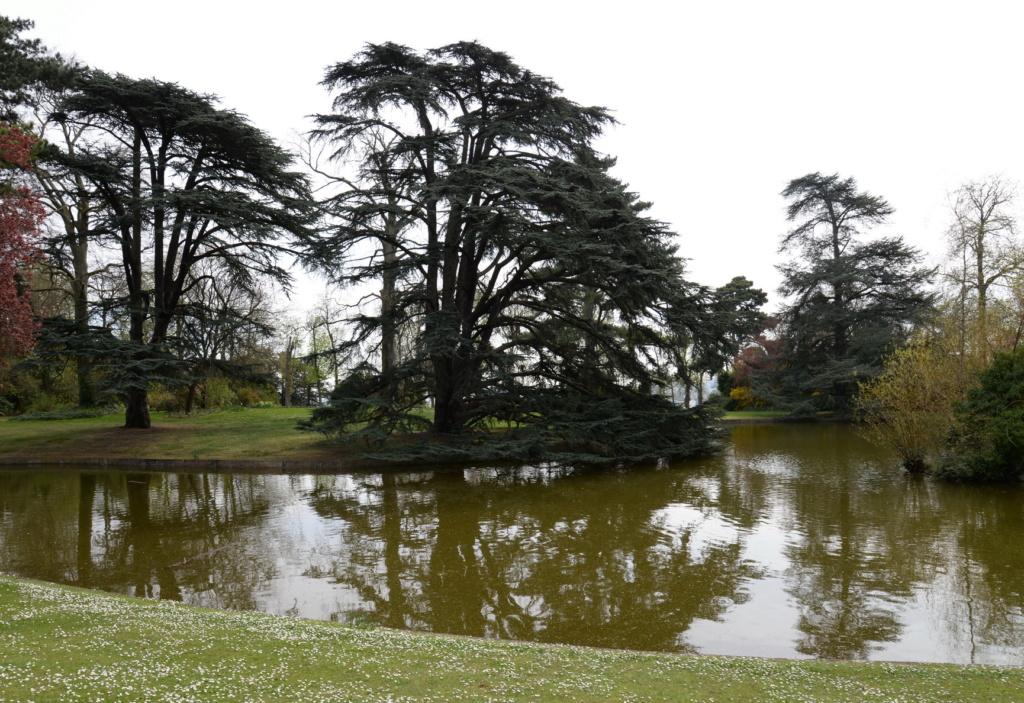 Les cèdres de Marie-Antoinette, jardin du Trocadéro, parc de Saint-Cloud Dsc_0210