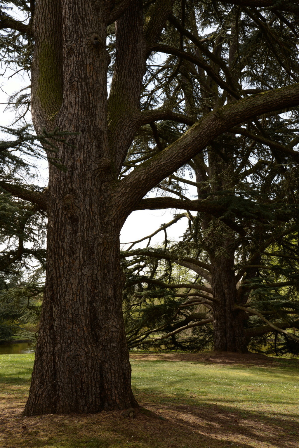 Les cèdres de Marie-Antoinette, jardin du Trocadéro, parc de Saint-Cloud Dsc_0211