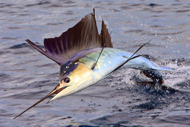 Des poissons tropicaux découverts en 1719 Ea9b7110