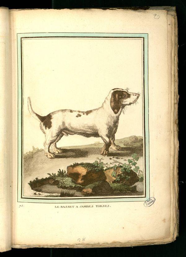 Des noms de races de chiens au XVIIIe siècle Gravur10