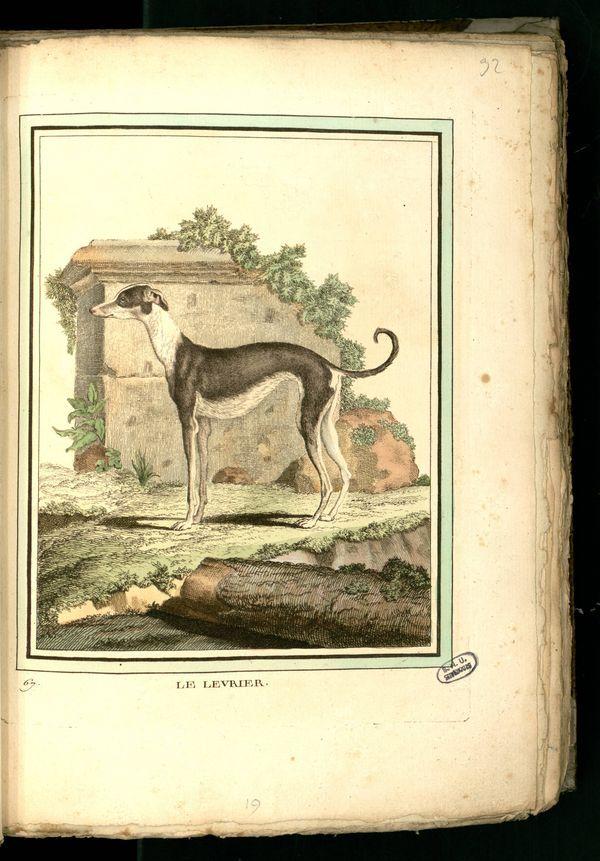 Des noms de races de chiens au XVIIIe siècle Gravur21