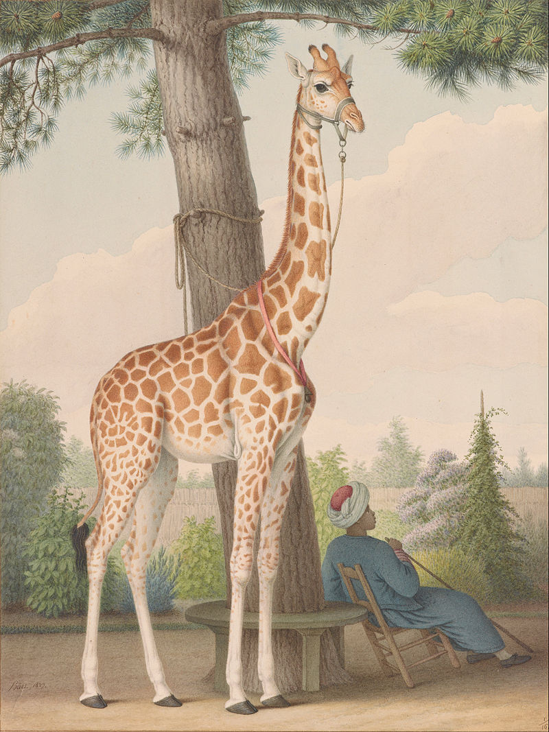 ZARAFA - La girafe de Charles X, dite Zarafa Nicola13