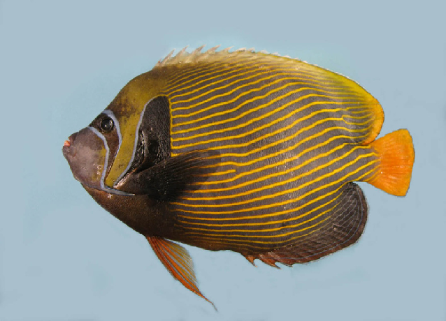 Des poissons tropicaux découverts en 1719 Pomaca10
