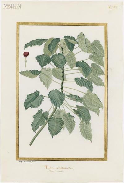 "Madeleine-Françoise Basseporte (1701-1780), première femme "" Peintre du jardin du Roi "" Thumb-10"