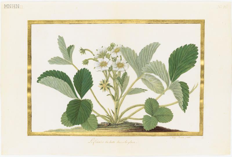 "Madeleine-Françoise Basseporte (1701-1780), première femme "" Peintre du jardin du Roi "" Thumb-16"