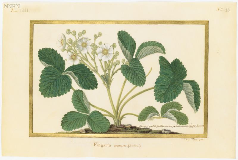 "Madeleine-Françoise Basseporte (1701-1780), première femme "" Peintre du jardin du Roi "" Thumb-17"