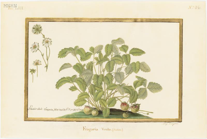 "Madeleine-Françoise Basseporte (1701-1780), première femme "" Peintre du jardin du Roi "" Thumb11"