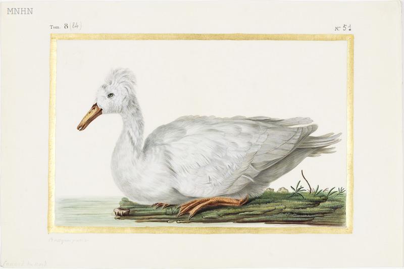 "Madeleine-Françoise Basseporte (1701-1780), première femme "" Peintre du jardin du Roi "" Thumb16"