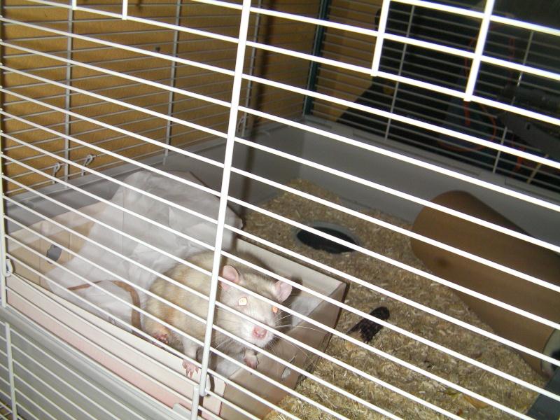 Présentation de mes ratounets Sany0024