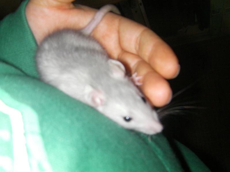 Présentation de mes ratounets Sany0026