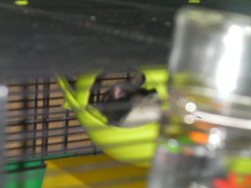 Présentation de mes ratounets Vegeta10