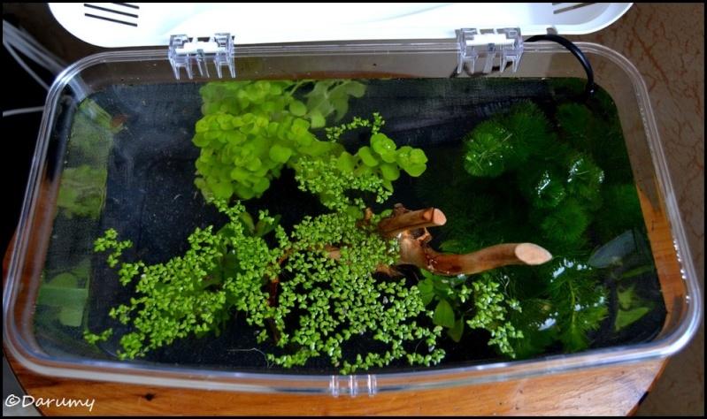 Projet 9 litres - Maintenance Betta/Plantes lumière naturelle Dsc_0028