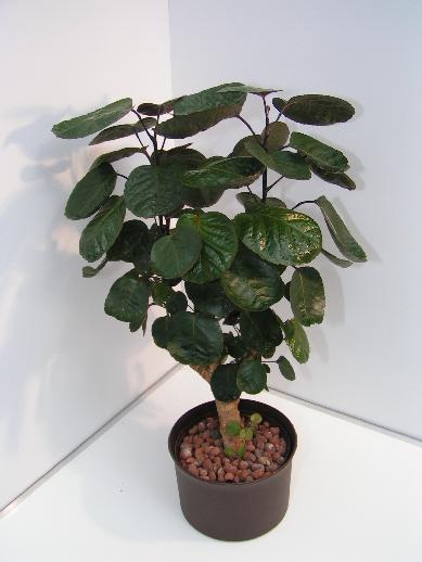 Polyscias scutellaria 1110