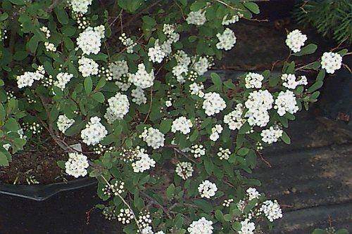 Vanhuteova suručica--Spiraea x vanhouttei 1112