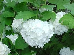 Snježne grude--Viburnum opulus 115